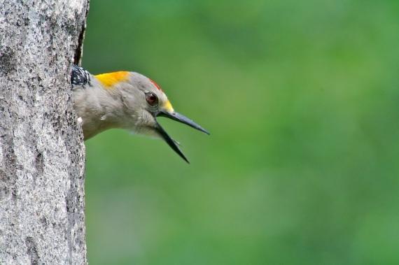 Golden-fronted Woodpecker peeks out of nest cavity Krenmueller Farms LRGV TX IMG_0136