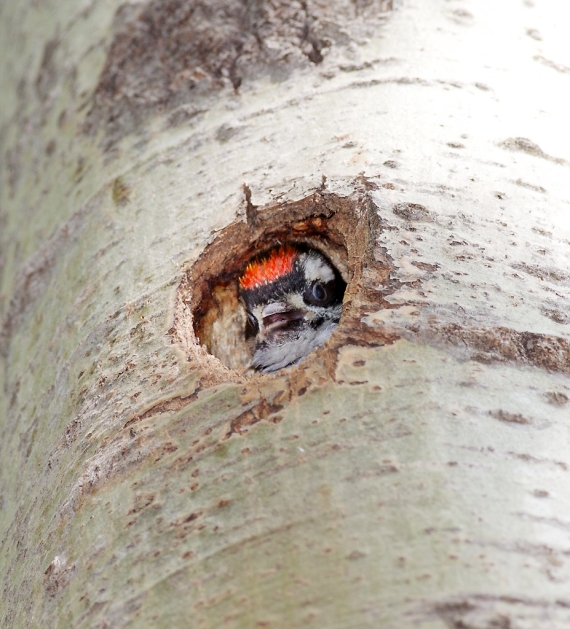 Hairy Woodpecker baby peeks out of cavity CR8 Sax-Zim Bog MN IMG_0036982