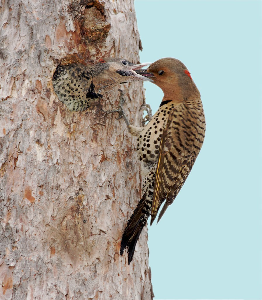 Northern Flicker Feedin Young Cook Co MN Sky Added IMG