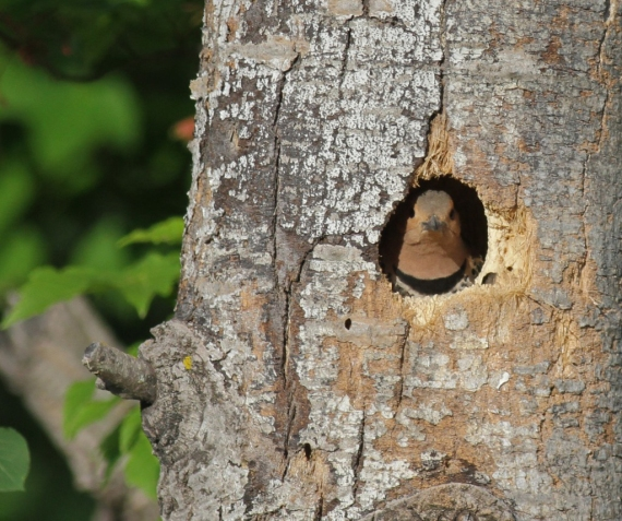Northern Flicker nest Carlton Co MN IMG_0020496