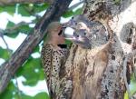 Northern Flicker nest nestlings Skogstjarna Carlton Co MNIMG_3474