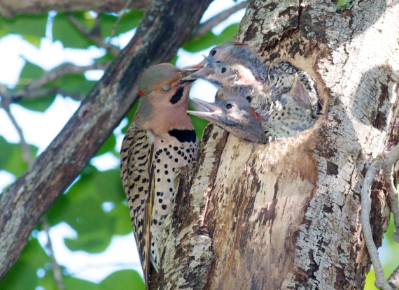 Northern Flicker nest nestlings Skogstjarna Carlton Co MN IMG_3474