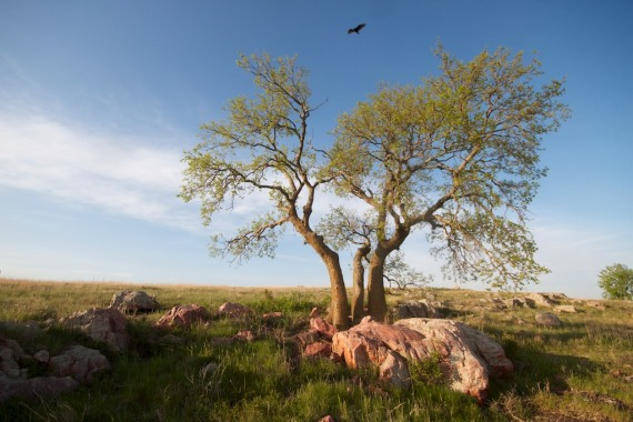Turkey Vulture Blue Mounds State Park landscape Rock Co MN IMG_9978