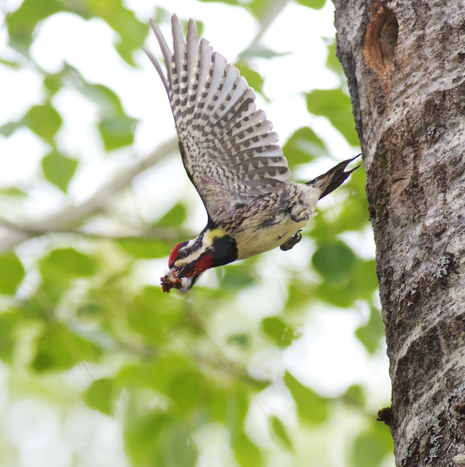 Black-backed Woodpecker Feeds Young Fond Du Lac State