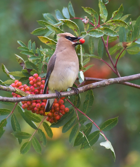 Cedar Waxwing Gunflint Trail Brule River Cook Co MN File0113