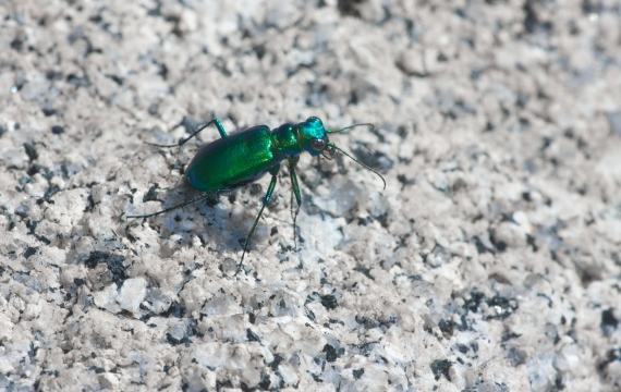 Laurentian Tiger Beetle Cicindela denikei Seagull River BWCAW Cook Co MN IMG_0010481