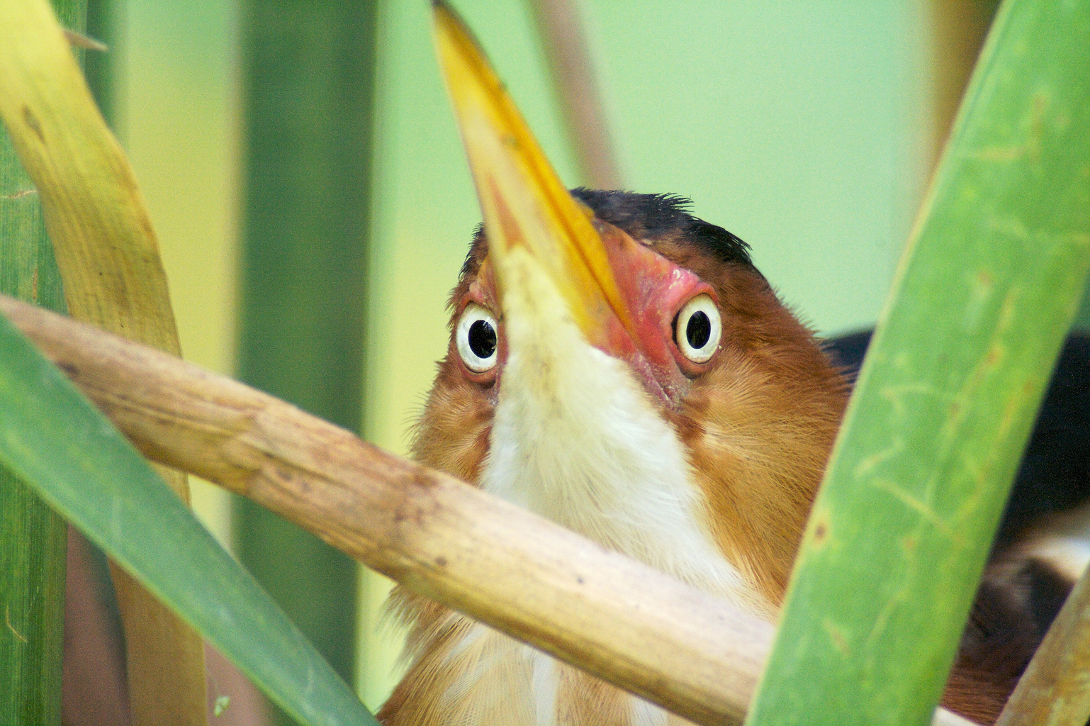 Least Bittern at nest[April; Krenmueller Farms, Lower Rio ...