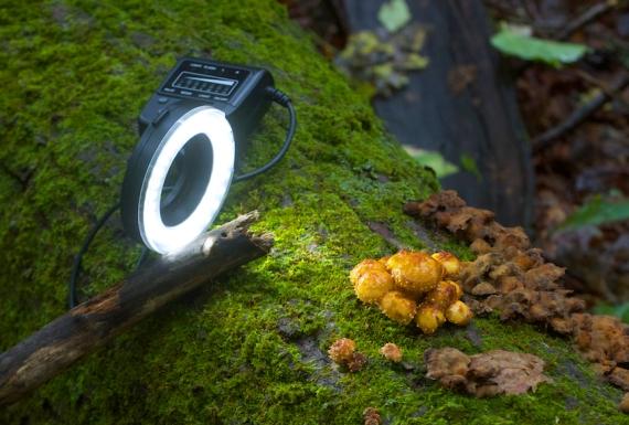 ring light LED Pholiota mushrooms Leimer Rd Jay Cooke State Park Carlton Co MN IMG_7940