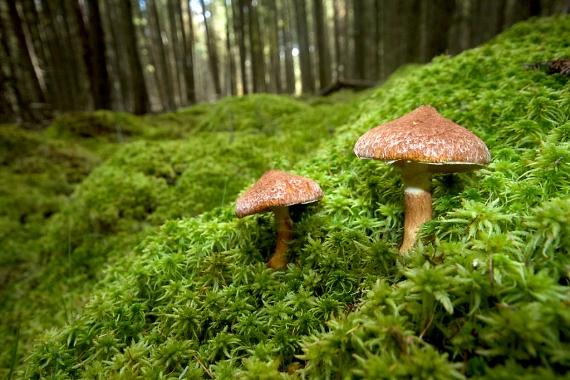 Suillus cavipes Hollow-foot Hollow-stemmed Suillus CR52 Sax-Zim Bog MN IMG_7081