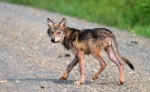 Timber Wolf pup off Arrowhead Trail near N Swamp River Cook Co MN T5184x3456-15777