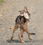 Timber Wolf pup off Arrowhead Trail near N Swamp River Cook Co MN T5184x3456-15796