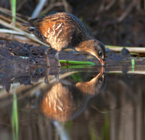Virginia Rail juvenile drinking Kimmes-Tobin Wetlands Douglas Co WI IMG_0060791 (1) copy