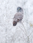 Great Gray Owl hoar frost Admiral Road Sax-Zim Bog MN IMG_1592 – Version2