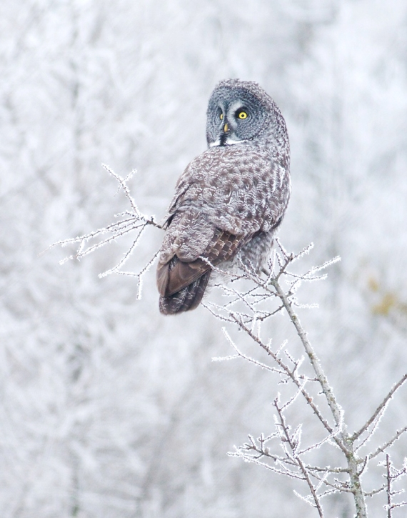 Great Gray Owl hoar frost Admiral Road Sax-Zim Bog MN IMG_1592 - Version 2