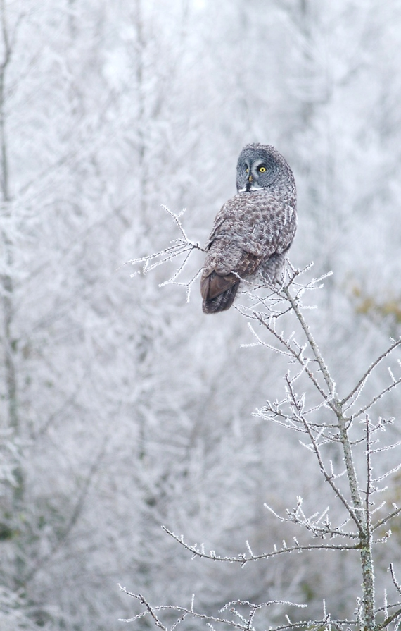 Great Gray Owl hoar frost Admiral Road Sax-Zim Bog MN IMG_1592