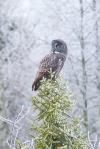 Great Gray Owl hoar frost Admiral Road Sax-Zim Bog MNIMG_1739