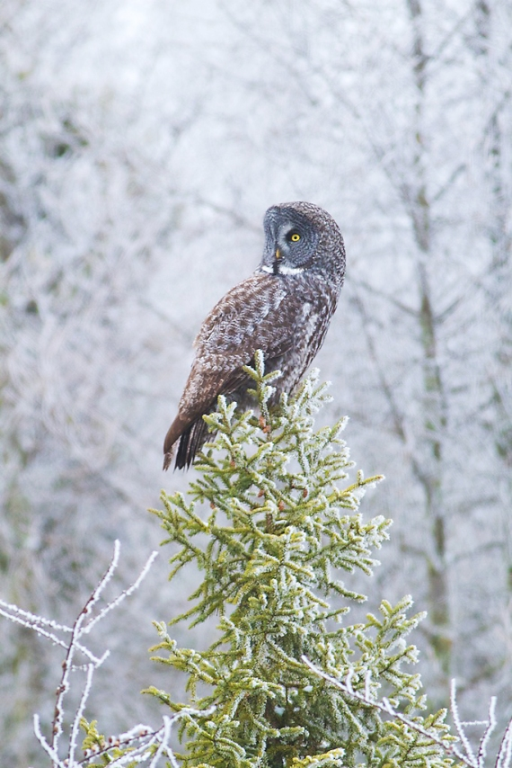 Great Gray Owl hoar frost Admiral Road Sax-Zim Bog MN IMG_1739