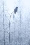 Great Gray Owl hoar frost Admiral Road Sax-Zim Bog MNIMG_1794