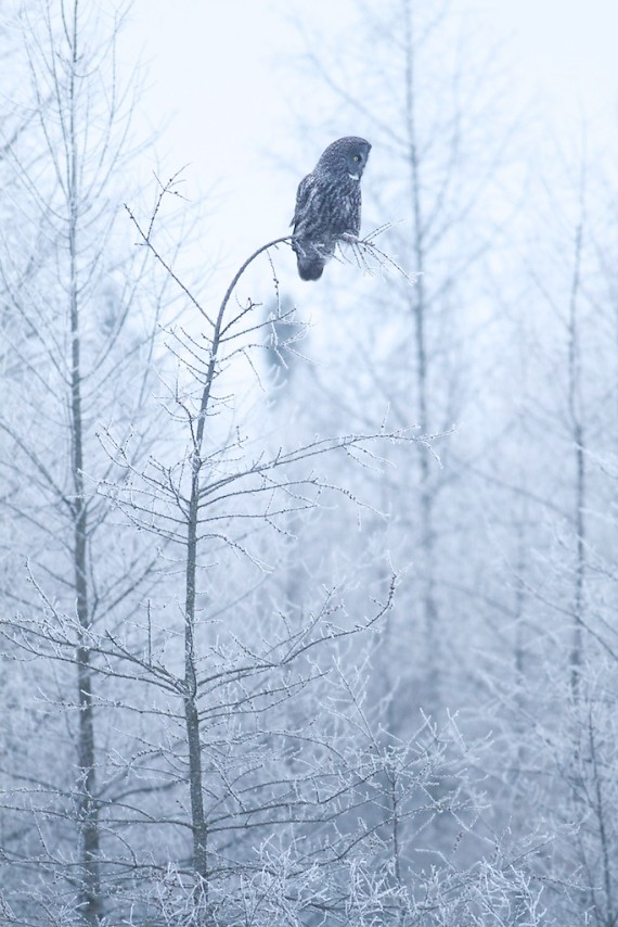 Great Gray Owl hoar-frost Admiral Road Sax-Zim Bog MN IMG_1794