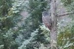 Great Gray Owl hoar frost Admiral Road Sax-Zim Bog MNIMG_1850