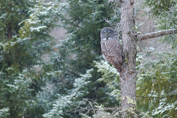 Great Gray Owl hoar frost Admiral Road Sax-Zim Bog MN IMG_1850