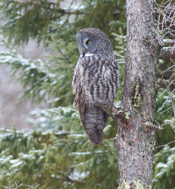 Great Gray Owl hoar frost Admiral Road Sax-Zim Bog MN IMG_1882 (1)