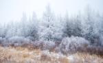Hoar frost Tamaracks Sax-Zim Bog MNIMG_1986