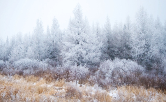 Hoar frost Tamaracks Sax-Zim Bog MN IMG_1986