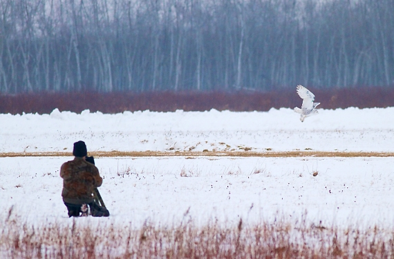 Snowy Owl Superior Airport Bong Superior WI IMG_1497