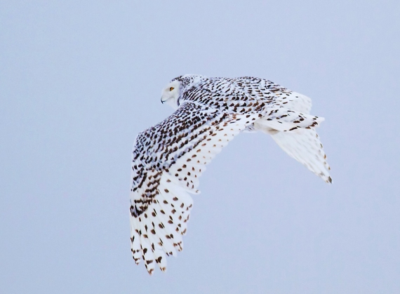 Superior Snowy Owls