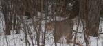 Bobcat Lynx rufus Carlton Co MN IMG_33061024px