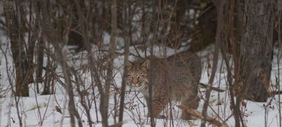 Bobcat Lynx rufus Carlton Co MN IMG_3306 1024px