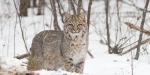 Bobcat Lynx rufus Carlton Co MN IMG_33391024px