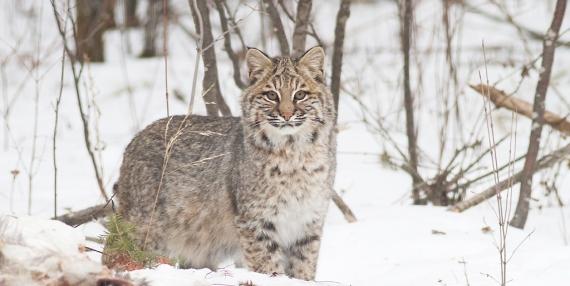 Bobcat Lynx rufus Carlton Co MN IMG_3339 1024px