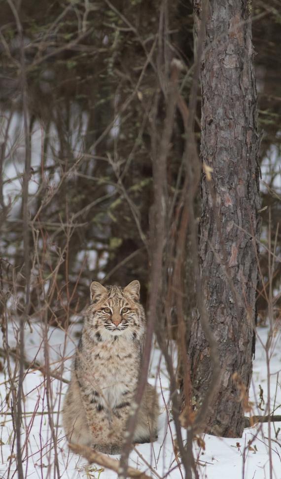 Bobcat Lynx rufus Carlton Co MN IMG_3373 1024px