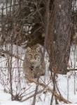 Bobcat Lynx rufus Carlton Co MN IMG_33761024px