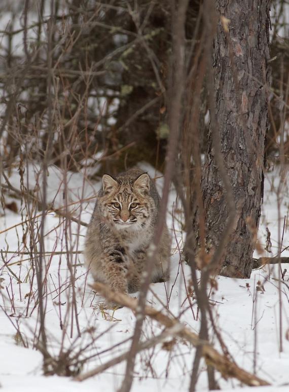 Bobcat Lynx rufus Carlton Co MN IMG_3376 1024px