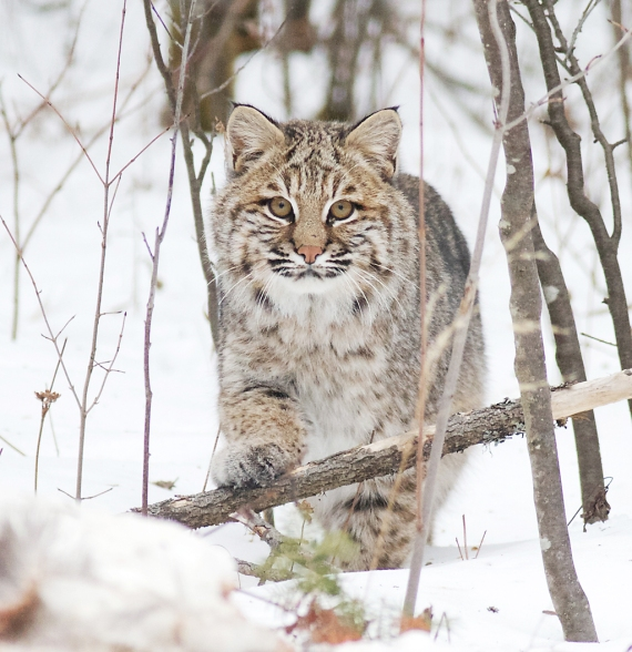 Bobcat Lynx rufus Carlton Co MN IMG_3390 1024px