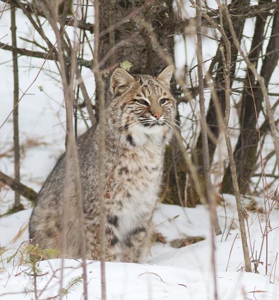 Bobcat Lynx rufus Carlton Co MN IMG_3414 1024px