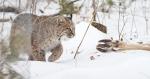Bobcat Lynx rufus Carlton Co MN IMG_34221024px