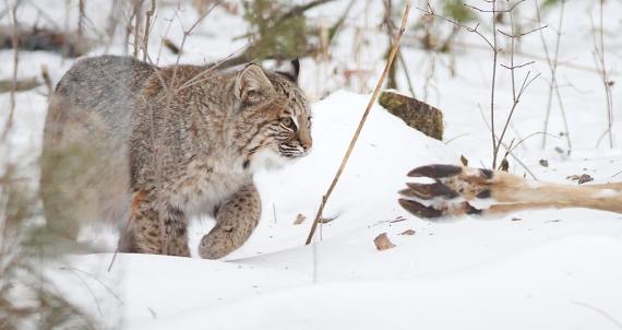 Bobcat Lynx rufus Carlton Co MN IMG_3422 1024px