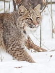 Bobcat Lynx rufus Carlton Co MN IMG_34291024px