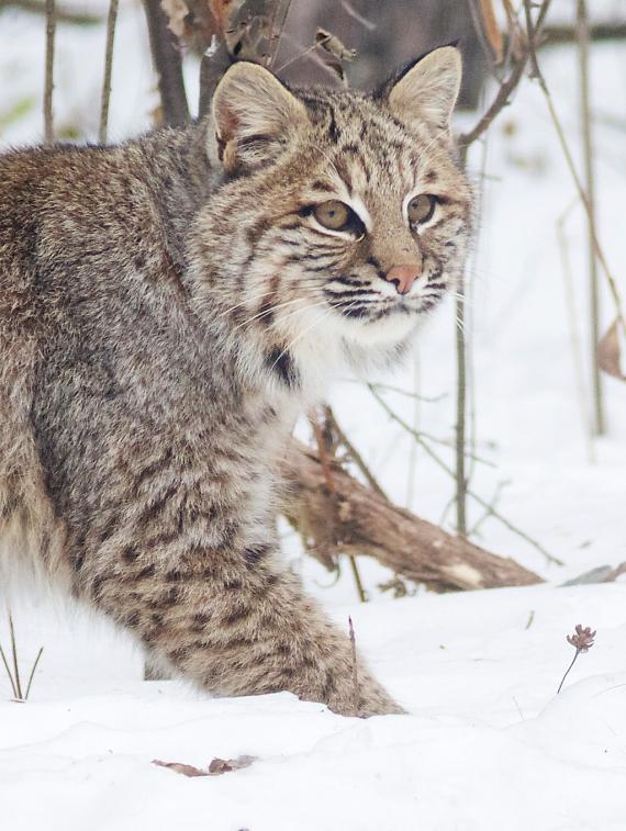 Bobcat Lynx rufus Carlton Co MN IMG_3429 1024px
