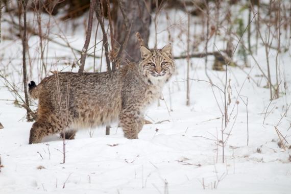 Bobcat Lynx rufus Carlton Co MN IMG_3434 1024px