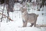 Bobcat Lynx rufus Carlton Co MN IMG_34401024px