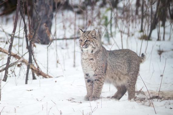 Bobcat Lynx rufus Carlton Co MN IMG_3440 1024px