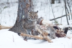 Bobcat Lynx rufus Carlton Co MN IMG_35281024px