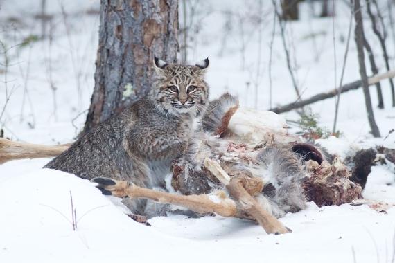 Bobcat Lynx rufus Carlton Co MN IMG_3528 1024px