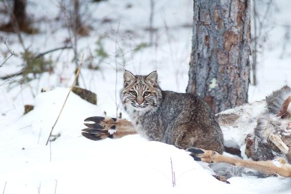 Bobcat Lynx rufus Carlton Co MN IMG_3530 1024px