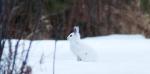 Snowshoe Hare Gene Letty's homestead CR104 Carlton Co MNIMG_3279